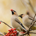 Waxwings on branch of mountain ash, with berries